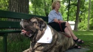 Hank the Tank is a five-year-old, 282 lb. English Mastiff.