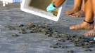 Hundreds of rare sea turtles released into the oce