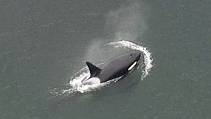 An orca is seen from Chopper 9 in Coal Harbour on Friday, June 24, 2016.