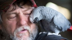 Roy Nordal cuddles up to a African Grey bird at the World Parrot Refuge in Coombs, B.C., Friday, June, 24, 2016. The refuge which is home to some 400 to 500 exotic birds who have been rescued mostly from Vancouver Island and parts of British Columbia is slated to close in August due to lack of funds to keep it running. (Jonathan Hayward/The Canadian Press)