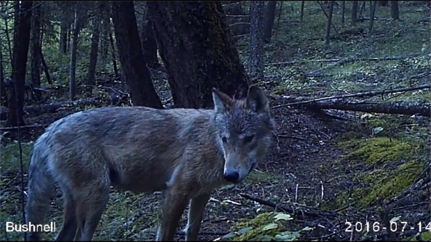 The wolves were spotted in the Lac du Bois grasslands.