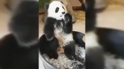 Extended: Panda cub cools off with some ice