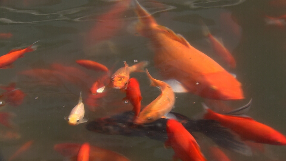 Fishy theft koi worth thousands stolen from car for How much are koi fish worth