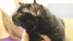 'Batman,' a cat with four ears, steals hearts