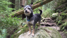 Seymour the mutt on the trail to Whyte Lake in West Vancouver, B.C. (Darcy Matheson)