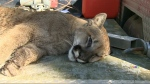 Relocating cougars no longer an option, B.C. says