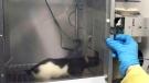 UBC rat test suggests link between pot, laziness