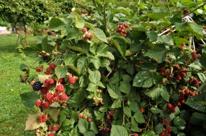 This undated photo provided by Lee Reich shows blackberries growing in New Paltz, N.Y. No need to fear here; canes bearing this heavy crop of blackberries are thornless, so won't 'bite' you. (Lee Reich via AP)