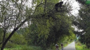 Bear enjoys snack in tree over racing cyclists