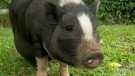 CTV Kitchener: Service pig topic of debate