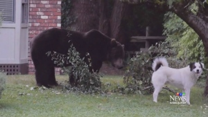 Dog barks in grizzly bear's face on Sunshine Coast