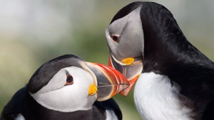 Atlantic puffins on Machias Seal Island on June 24, 2016. (Andrew Vaughan / THE CANADIAN PRESS)