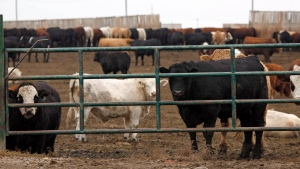 Cattle look out form a feedlot in Brooks, Alta., Wednesday, Oct. 10, 2012. Feedlot operators at the heart of Canada's biggest cattle-producing region are calling on the Alberta government to overturn a first-of-its-kind tax imposed by their rural municipality that they say will result in more cattle feeders going out of business. (Jeff McIntosh/The Canadian Press)