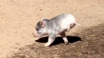 'Miracle' the pig walks on only two legs