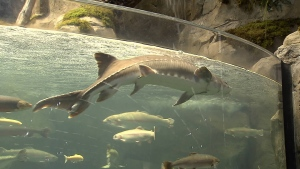 A white sturgeon swims near the surface of a 15,000-gallon aquarium inside the Bass Pro Shops at Tsawwassen Mills mall. Oct. 7, 2016. (CTV)
