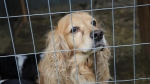 In this image released on Wednesday, July 23, 2014, a cocker spaniel is shown shortly before being rescued from a puppy mill in Estrie, Quebec. (Francis Vachon/AP)