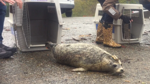 A rehabilitated harbour seal is released into the waters of Howe Sound by members of the Vancouver Aquarium on Oct. 21, 2016. (CTV)