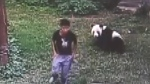 Man gets wrestled by panda inside cage