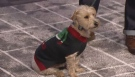 Fetching holiday fashion for your four legged friends with pet expert Darcy Matheson.