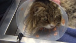 House cat survives after being caught in trap