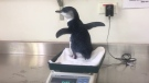 A baby penguin found wandering the streets of Summer Hill in Sydney was recovering well at Taronga Zoo on Friday, Dec. 2. The penguin, which is only a few months old, was found by two men out taking photographs on Thursday, Dec. 1.(Credit: Taronga Zoo via Storyful)