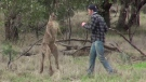 Zookeeper Greig Tonkins is shown preparing to punch a kangaroo at Taronga Western Plains Zoo on June 15, 2016. (ViralHog / YouTube)