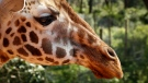 A giraffe at the Giraffe Centre in Karen, on the outskirts of Nairobi, in Kenya Wednesday, Dec. 7, 2016. (AP Photo / Khaled Kazziha)