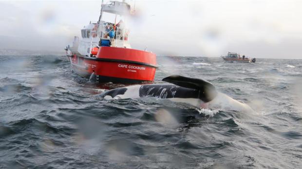Orca found off Sunshine Coast suffered blunt-force trauma: DFO
