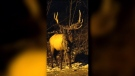 "The entangled elk dubbed ""monster mesh"" is shown in a recent photo taken from Facebook."