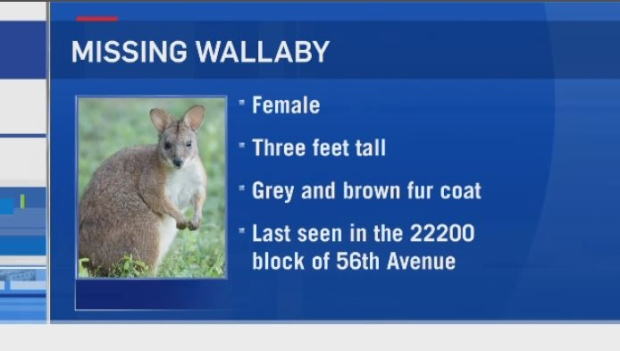 wallaby missing