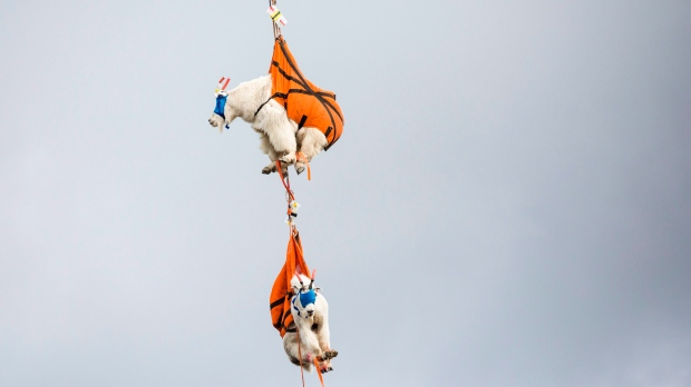 flying mountain goats