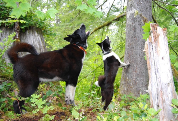 Karelian bear dogs