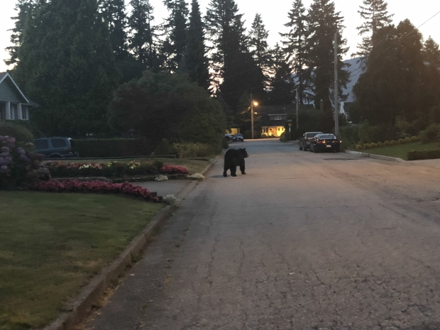 Bear in Coquitlam neighbourhood