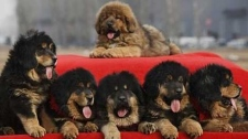 Tibetan mastiff puppies are seen atop a car on a red cloth for sale out side a convention center at Changping, northern suburb of Beijing, China, Sunday, March 21, 2010.(AP Photo/ Gemunu Amarasinghe)