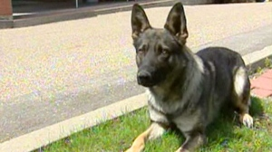 An RCMP police dog is seen in this undated file photo. (CTV)