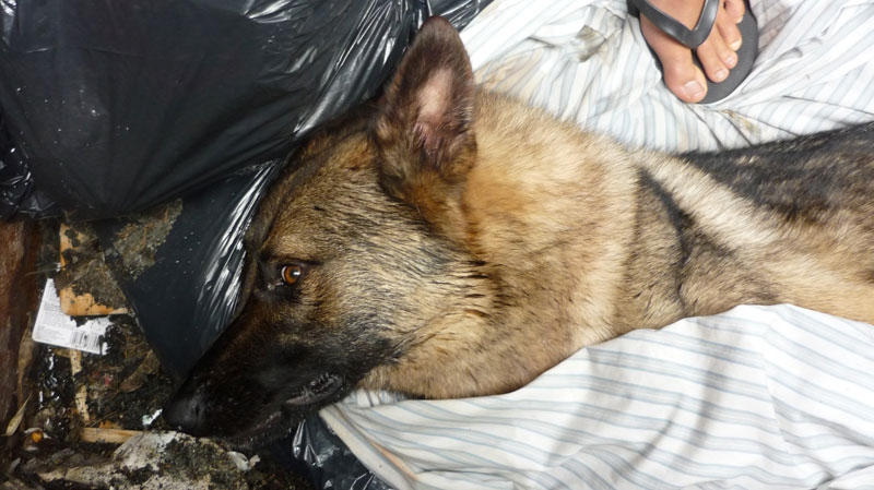 A two-year-old German shepherd was found in a dumpster a few blocks from Kitsilano Beach on Wednesday, July 18, 2012. (Handout)