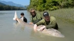 Anglers pose with a 3.8-metre white sturgeon before releasing it back into the wild. July 16, 2012. (Handout)