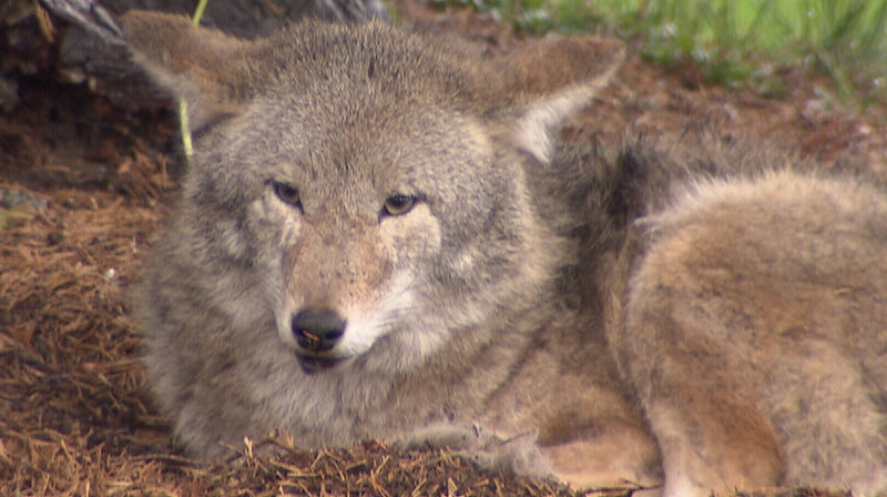 Man attacked by coyote warns others | CTV Vancouver News