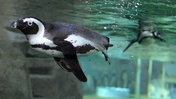 Vancouver Aquarium Penguin