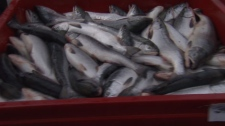 Just some of the sockeye salmon from a record run on the Fraser River. Aug. 26, 2010. (CTV)