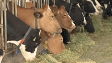 Dairy cows, Cattle