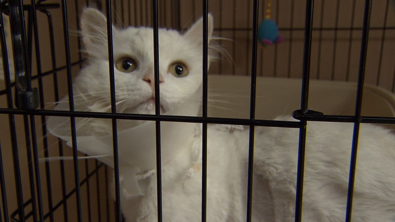 Coconut was abandoned in a carrier for days before being found by berry pickers last month. The cat was dehydrated and struggling to survive by the time it was brought to a Richmond animal shelter. Sept. 20, 2012. (CTV)