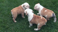 Three stolen purebred bulldog puppies are found safe and sound.