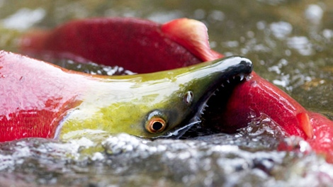 A spawning sockeye salmon bites the tail of another salmon as it making its way up the Adams River in Roderick Haig-Brown Provincial Park near Chase, B.C. Friday, Oct. 8, 2010. (CP/Jonathan Hayward)